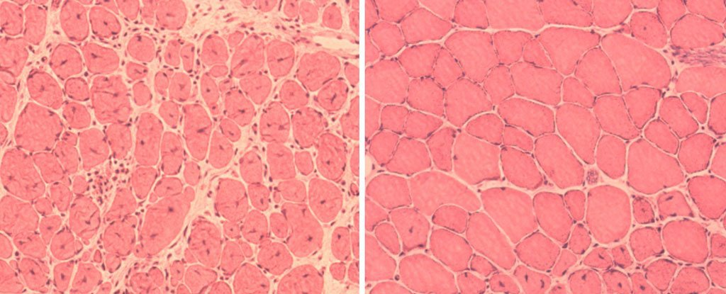 استخدام اعادة البرمجة الخلوية لمعاكسة الشيخوخة في الحيوانات الحية للمرة الاولى !