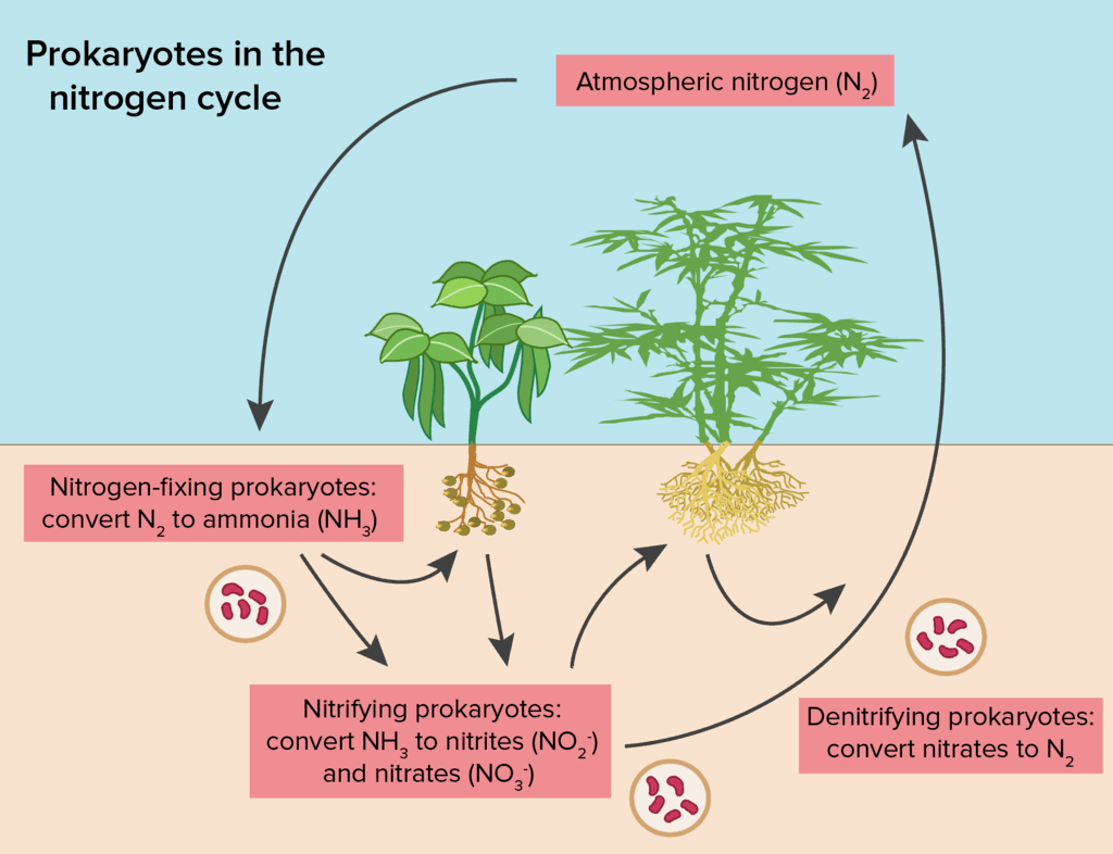 Nitrogen cycle main points and human effects