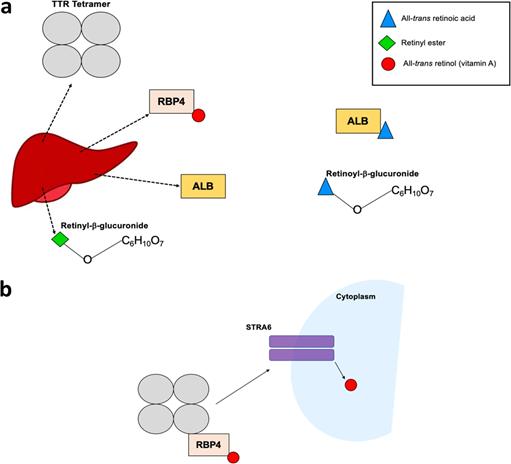 مخطط يوضح آلية نقل الريتينويد جهازيًا