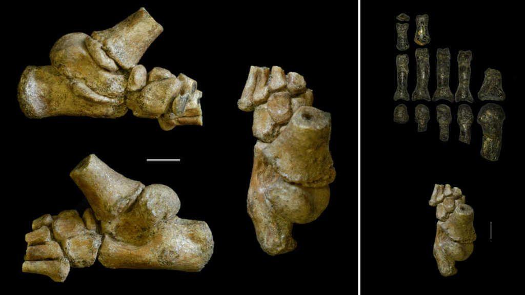 بقايا قدم طفل قديم: البشر الأوائل ساروا مثلنا لكنهم تسلقوا مثل القردة