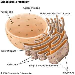 ما هي الشبكة الإندوبلازمية الخشنة في الخلية تخليق البروتينات أجهزة جولجي نواة الخلية الخلايا الحيوانية الريبوسومات الكولاجين صنع البروتين