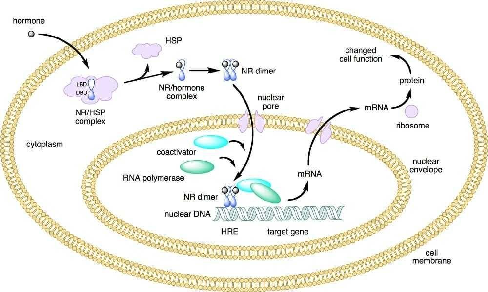 ما هي العصارة الخلوية في الخلية وظيفة العصارة الخلوية السيتوبلازم العضيات الخلوي السائل الخلوي الوظائف الحيوية البروتينات