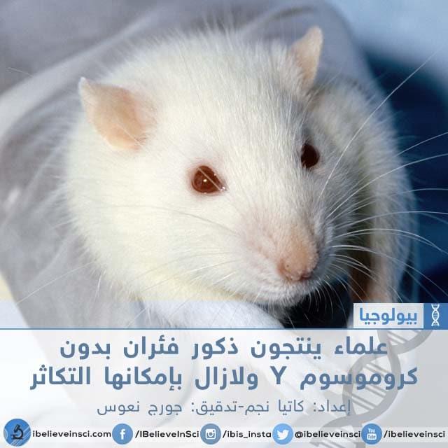 علماء ينتجون ذكور فئران بدون كروموسوم Y ولازال بإمكانها التكاثر