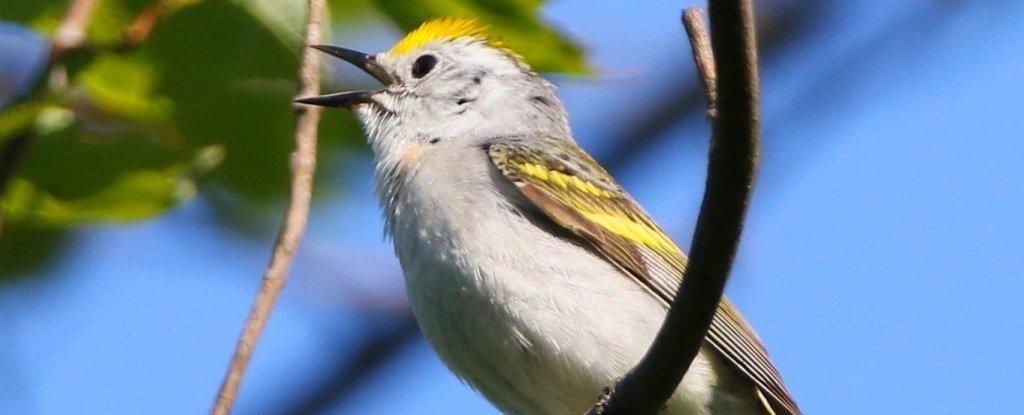 الطائر الطيور هجين التكاثر Cornell Lab of Ornithology