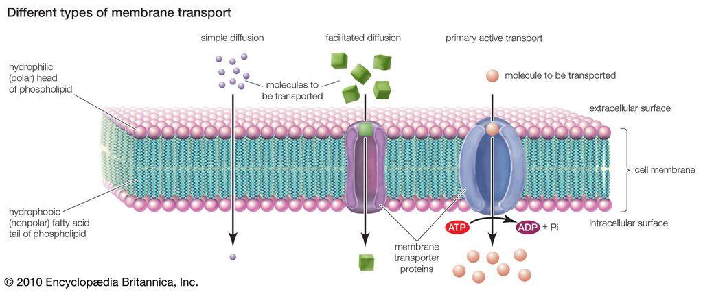 الأشكال المختلفة للنقل الغشائي الغشاء الخلوي