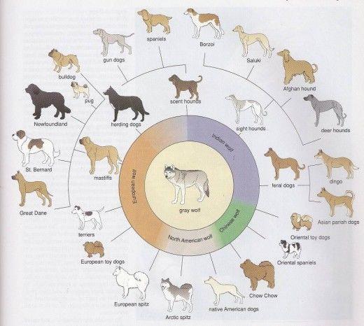 تطور الكلاب