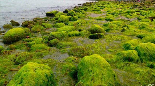 الطحالب تحم�...