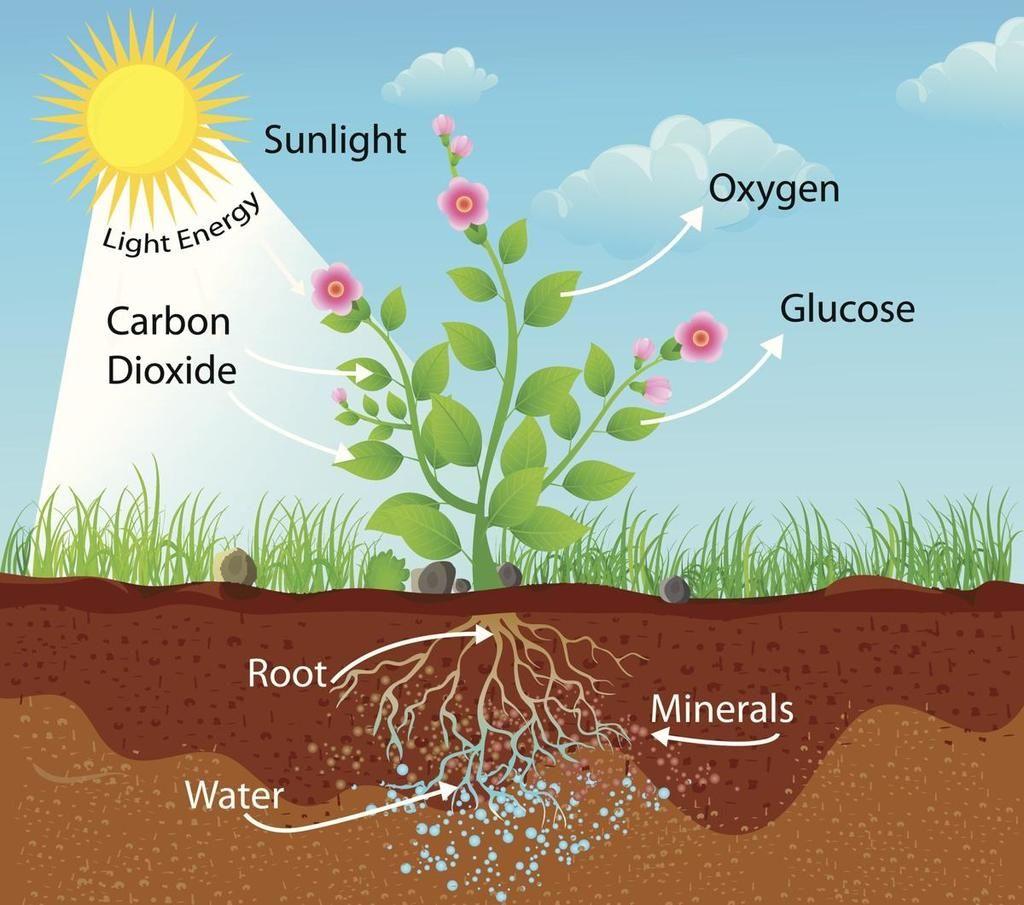 تحتاج النباتات إلى غاز ثاني أكسيد الكربون التركيب الضوئي بناء الطاقة الأكسجين