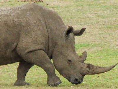 بوق وحيد القرن - Rhino Horn