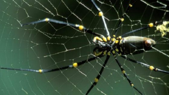 لماذا لا تلتصق العناكب وتعلق في شباكها؟