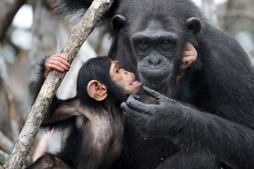 طورت إناث الشمبانزي استراتيجية مبتكرة لحماية أطفالها من الموت