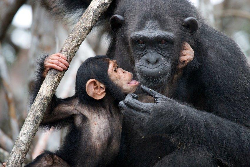 مراقبة سلوك التعليم بين ابناء عمومتنا من الشمبانزي لاول مرة !