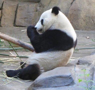 لماذا لون الباندا ابيض و اسود ؟