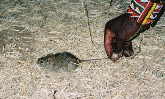 في جعبة الفأر المنزلي حكاية تطور المجتمعات البشرية
