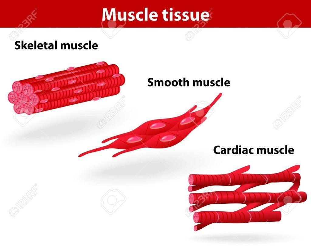 النسيج العضلي العضلات الخلايا العضلية التقلص