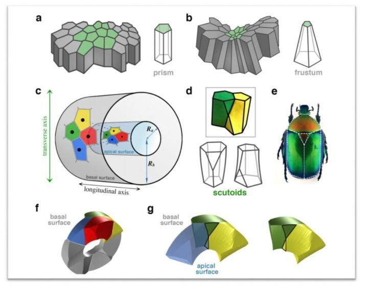 شكل هندسي جديد تستخدمه الطبيعة لرزم الخلايا بشكل فعال