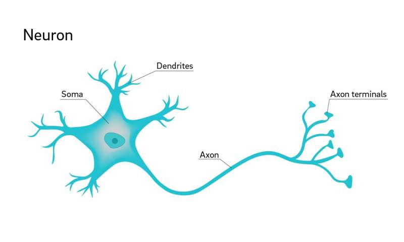 النسيج العصبي الجهاز العصبي العصبونات الخلايا العصبية الدبق العصبي