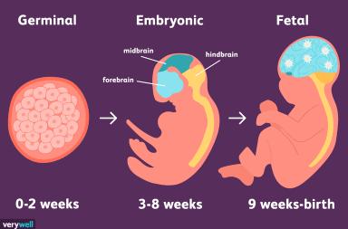 مراحل التطور الجنيني في الرحم خلال الحمل مراحل طور الجنين في الرحم كيف يتشكل الجنين قبل الولادة الطفل خلال فترة الحمل