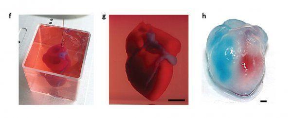 توضح الصور القلب في الحمام الداعم وبعد الاستخراج إذ يُحقن البطينان الأيسر والأيمن بصبغات حمراء وزرقاء لإظهار تجويف الحجرات والحاجز البطيني بينها.