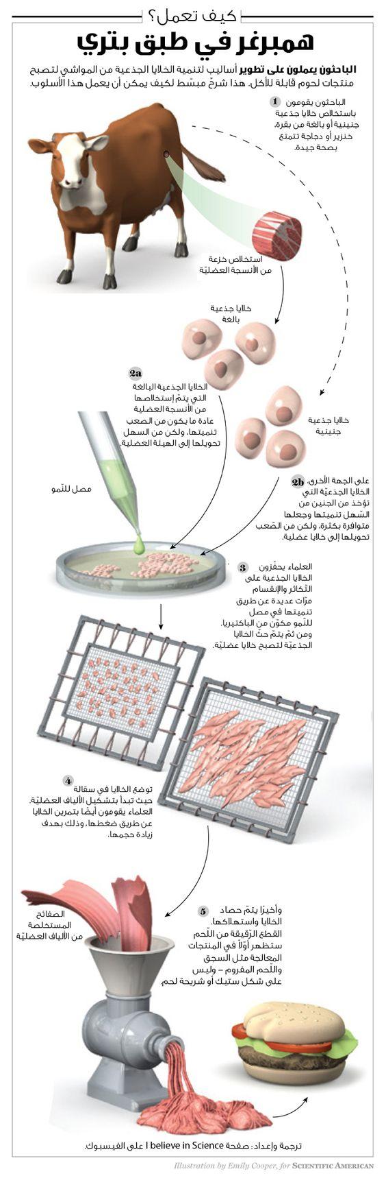 لحوم قابلة للأكل والإستهلاك من الخلايا الجذعيّة للكائنات الحيّة. هذه التّقنيّة ما زالت في مهدها، وهنالك الكثير من العقبات التي تواجهنا قبل أن تُصبح مثل هذه المنتجات متوافرة في الأسواق. هذا الإنفوجرافيك يُوضّح كيف يصنع العلماء مثل هذا الهمبرغر ابتداءً من الخلايا الجذعيّة وحتّى المعالجة، التّحضير، والطّهي. بالطّبع، هنالك نوعين من الخلايا الجذعيّة - هنالك الخلايا الجذعيّة البالغة والخلايا الجذعيّة الجنينيّة، ولكلّ حسناتها وسيّئاتها الخاصّة في هذا السّياق.