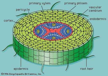 الجذور ما هي الجذور في النباتات النباتات الوعائية الأنسجة الخارجية الأنسجة الداخلية الجذر القلنسوة امتصاص الماء فظ الغذاء الاحتياطي