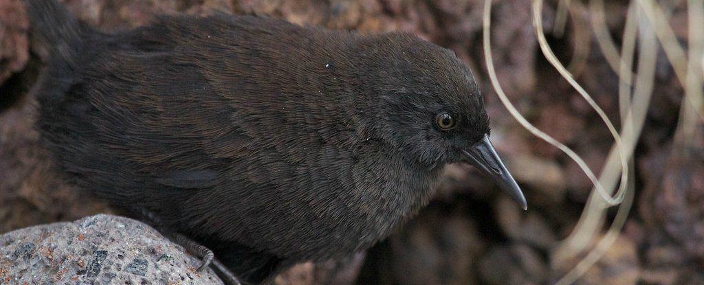 لغز الطيور الصغيرة غير القادرة على الطيران والموجودة في جزيرة وسط المحيط الأطلسي