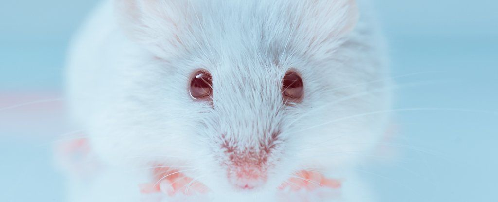 نجاح تجربة مثيرة للجدل بمحرك الجينات (gene drive) على الثدييات
