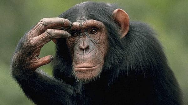 الشمبانزي كالبشر يكافئ المتعاون ويعاقب المستغل