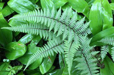 كيف تتكاثر السراخس أوجه التشابه بين أنواع السراخس أنواع نبات السرخس النباتات المنقرضة انقراض السرخس التكاثر عن طريق الأبواغ
