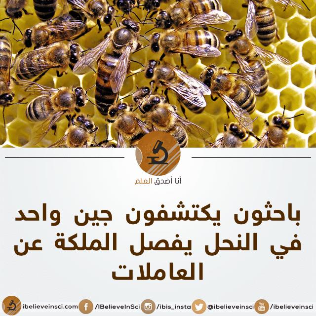 باحثون يكتشفون جين واحد في النحل يفصل الملكة عن الشغالات