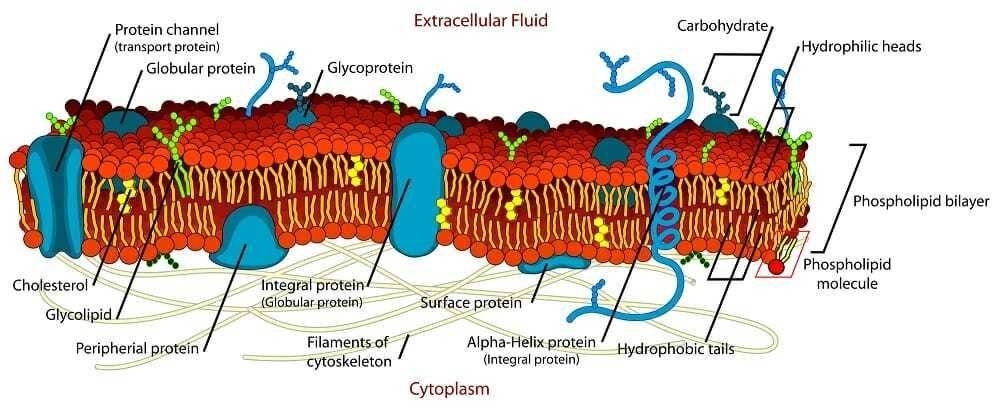هيكل الغشاء الخلوي