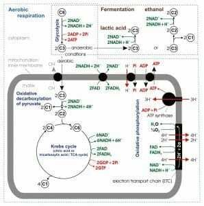Photo caption: An overview of cellular respiration.  Sugar degradation occurs in the cell membrane while the crepe cycle and phosphorylation occur within the mitochondria.