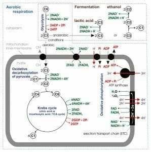 شرح الصورة: نظرة عامة على التنفس الخلوي. يحدث تحلل السكر في الغشاء الخلوي بينما تحدث دورة كريب والأكسدة الفسفورية داخل الميتوكوندريا.