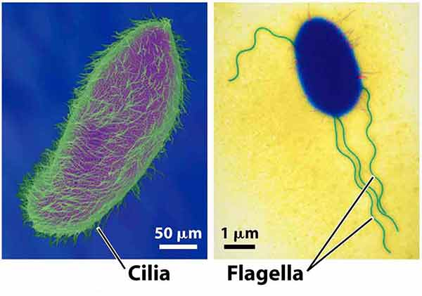 ما هي وظيفة الأهداب في الخلايا الحية السياط يساعد على حركة الخلايا البكتيريا وظيفة السوط في البكتيريا كيف تتحرك الجراثيم الحركة الخلوية