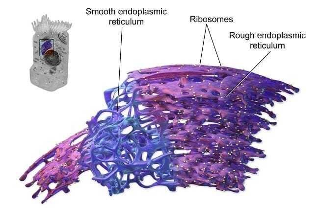 ما هي الشبكة الإندوبلازمية أو الشبكة الهيولية الباطنة أو الشبكة البلازمية الداخلية مصانع البروتين في الخلية عمل البنكرياس الكالسيوم
