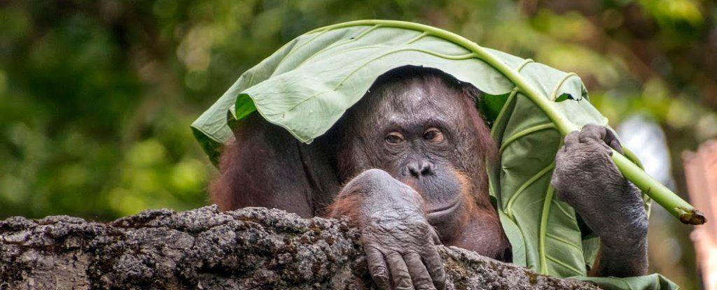 السِّعْلاَة (الأورانغوتان) هو أوّل حيوان رئيسيّ غير بشريّ يستطيع التَحدُّث عن الماضي