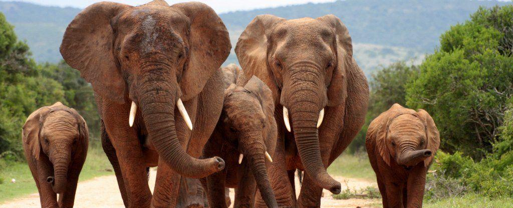 الصيد غير المشروع يتسبب في تطور فيلة بدون أنياب