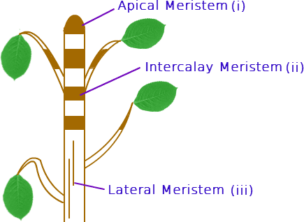 أنواع الأنسجة المرستيمية