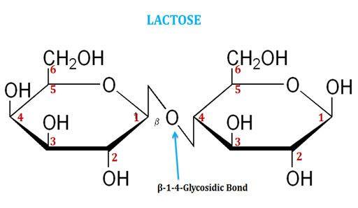 ما هي السكريات الثنائية disaccharide السكروز اللاكتوز السكريات الأحادية التريهالوز والسلوبيوز أمثلة عن السكريات ثنائية المالتوز