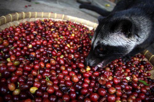 هل تعلم؟ أغلى قهوة في العالم مصنوعة من البراز!