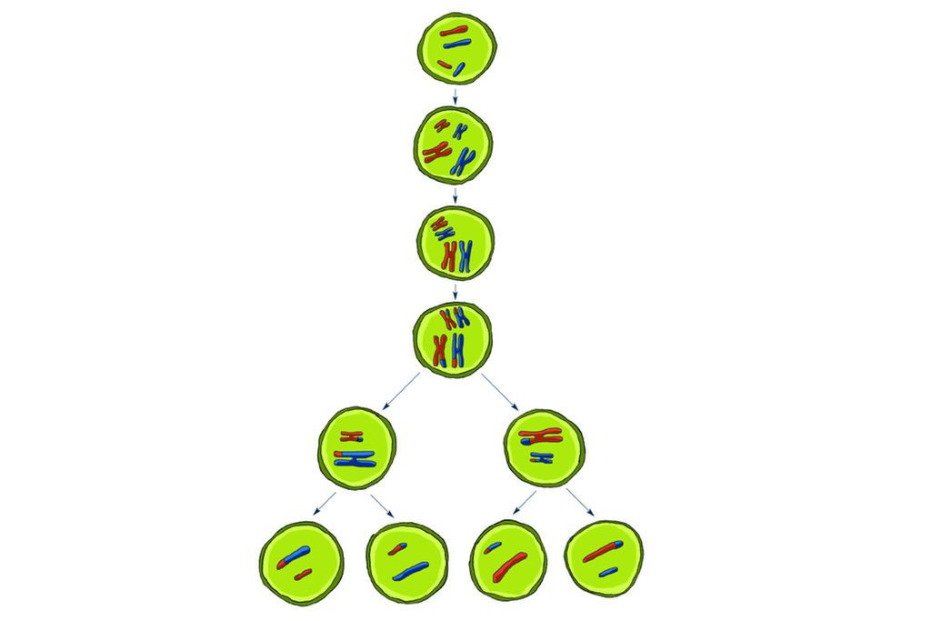 الانقسام المنصف أو الاختزالي هو العملية التي يتم بموجبها نسخ الكروموسومات وإقرانها وفصلها لإنتاج البويضات أو الحيوانات المنوية
