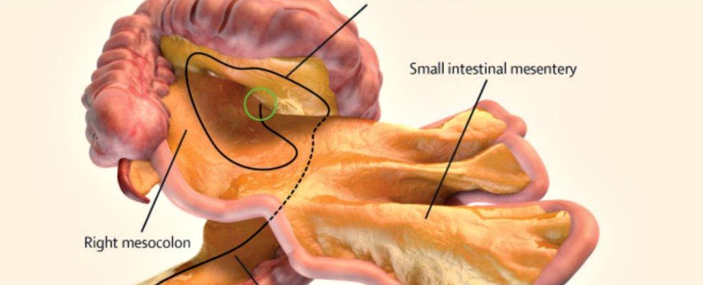 ما هو العضو الجديد الذي اكتشفه العلماء داخل أجسامنا ؟
