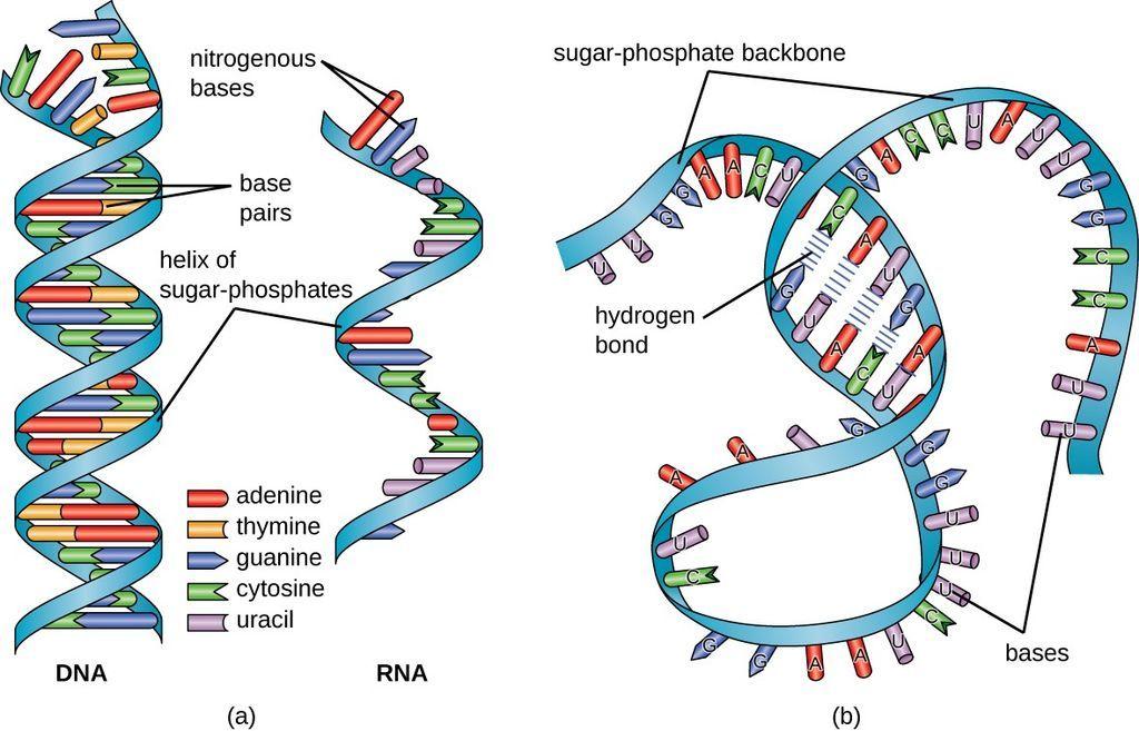 بنية الحمض النووي الريبي ووظيفته