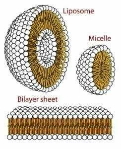 الجسيم الحال أو الليزوزوم أو اليحلول