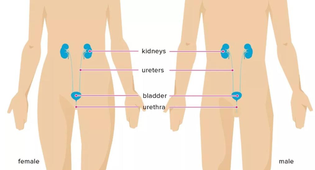 إنتانات السبيل البولي: الأسباب والأعراض والتشخيص والعلاج - إنتانات الأجزاء العلوية من الجهاز البولي والكليتين - التهاب الحويضة والكلية