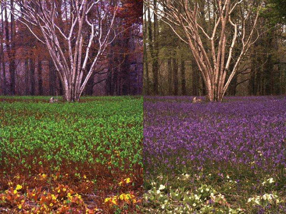 المنظر نفسه، تمثل الصورة على اليمين كيفية رؤية الإنسان بينما على اليسار كيفية رؤية النحلة