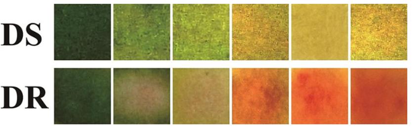 تغير لون الضمادة حال وجود جراثيم حساسة للدواء (DS) وجراثيم مقاومة للدواء (DR)