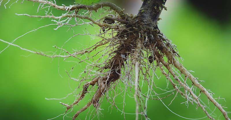 ما هي الجذور في النباتات؟ وما هي وظيفتها؟