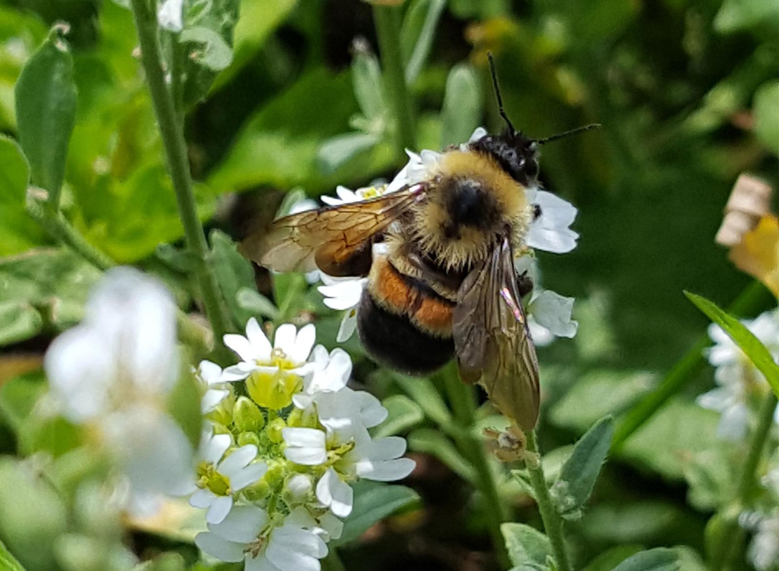 النحل في خطر - التغيرات البسيطة في درجة الحرارة - التغير المناخي وانقراض الحشرات - تلقيح العديد من المحاصيل كالطماطم والقرع والتوت
