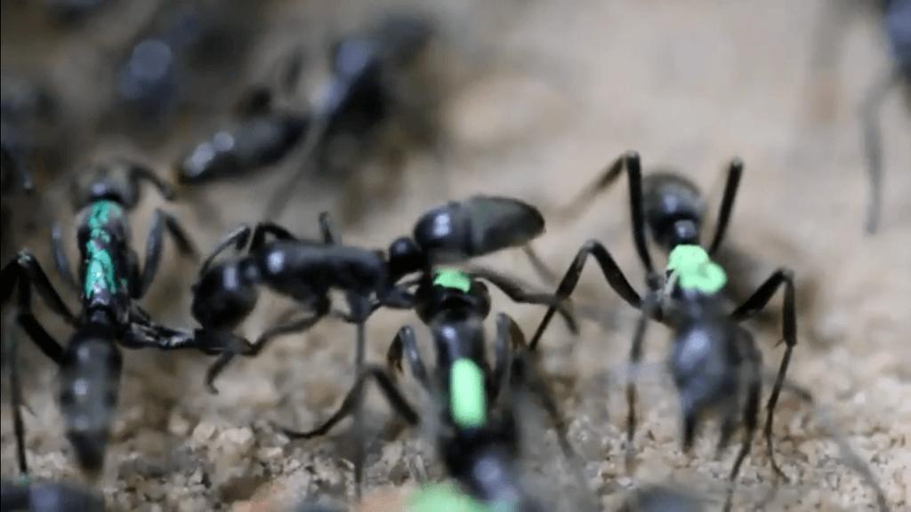 نوعٌ مِن النمل المفترس يعالج ويُجلي جنوده المصابين